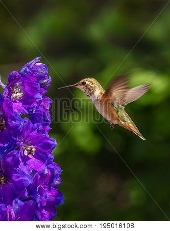 Iridescent Blue Delphinium and Hovering Rufous Hummingbird