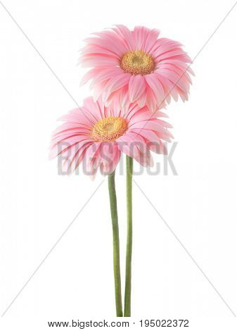 Two light pink Gerbera flowers  isolated on white background.