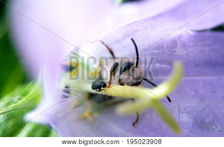 Bee on a purple flower and a black beetle on a summer day close-up macro photos blurred background