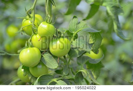 Green unripe tomatoes in greenhouse