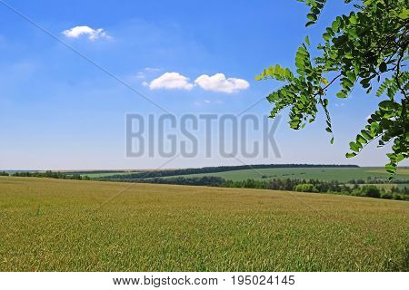 Wheat field and branch of locast in the summer