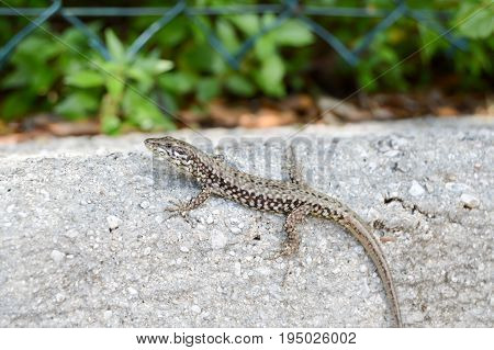 Small lizard that takes the sun on a low wall in the city of Limone in Italy