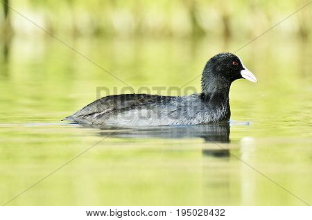 Eurasian Coot (Fulica atra). Eurasian coot-Waterbird of Europe prefer living in lakes
