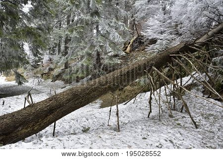 Snow covered fallen tree in wood. The trunk of a felled tree covered with snow in winter forest