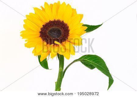 Sunflower isolated on white background. Flower -