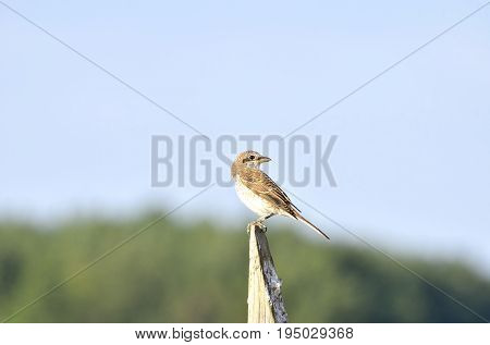 Red backed shrike (Lanius collurio) perched on a twig