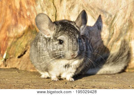Gray Chinchilla On A Wood Background Outdoor
