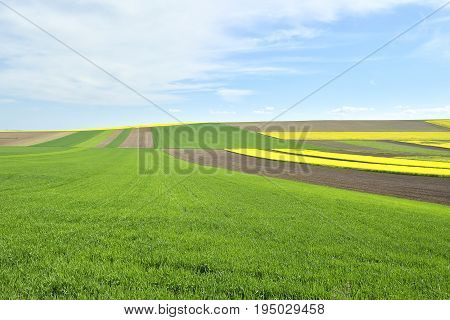 Rapeseed Yellow And Green Field In Spring