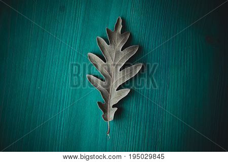 Oak tree leaf on green wooden background. Texture and background of oak leaves for designers. Macro view of leaf texture on wood background. Organic texture of green leaves.
