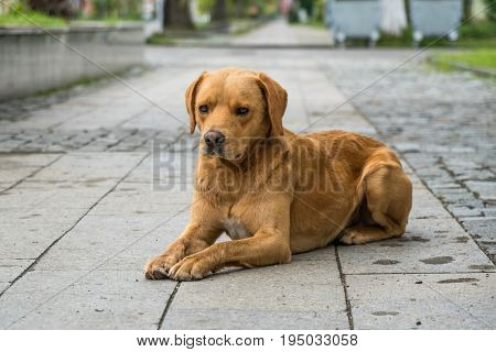 portraits of an brown fur homeless dog on city pathway floor.