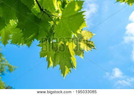 Sunlit Leaves Of Sycamore As Natural Background