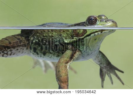 Close-up of a Green Frog (Rana clamitans) in a pond partially underwater poster