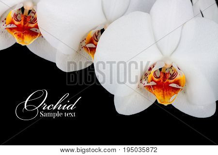 orchid on the black background. Flower- ,