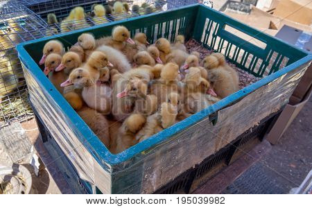 Trade in small ducklings in the poultry market