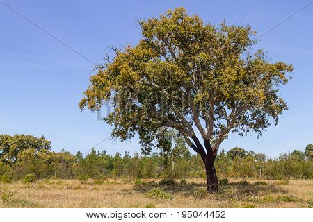 Cork Trees In Vale Seco, Santiago Do Cacem