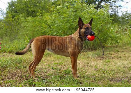 Belgian Shepherd Dog playing in the park. Shot of a dog playing with red ball. Dog playing. Dog walking in the park.