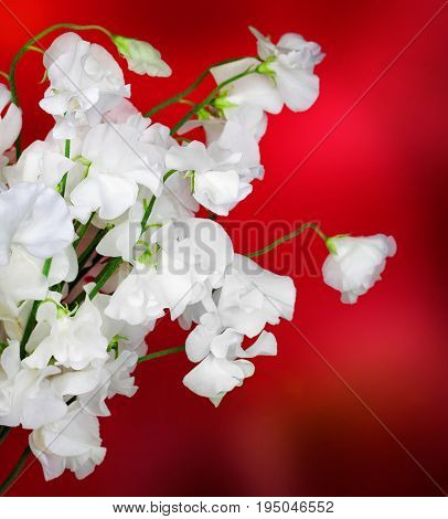 White flower on a red background, Nature