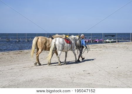 Skadovsk Ukraine - June 15 2017: Man drives two horses along the shores of the black sea making money