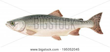 Freshwater Fish Of The Far East - Pink Salmon Female