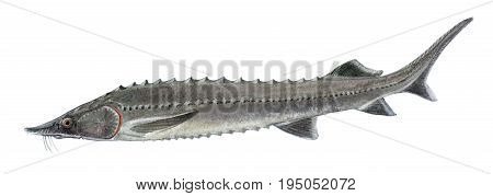 Freshwater Fish Of The Far East - Sturgeon