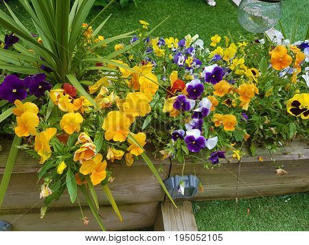 The Pansy is a type of large-flowered hybrid plant