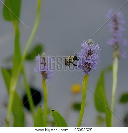 A bee sips nectar from a stalk of lavender flowers in a garden