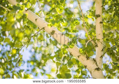 Close-up picture a charming birch and beautiful green leaves of a birch tree in summer. Fresh green leaves and trunk of birch tree with beautiful birch bark close up on sky background.