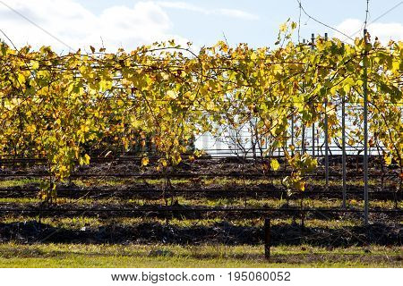 Vineyard Grape Vines In Autumn-winter Back Lit By Afternoon Sun
