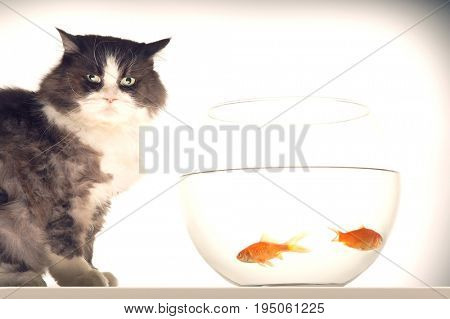 Cat sitting by fishbowl with two goldfish against white background