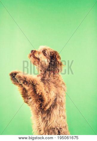 Otter Hound Standing