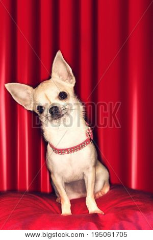 Portrait of a Chihuahua sitting on red pillow against red curtain