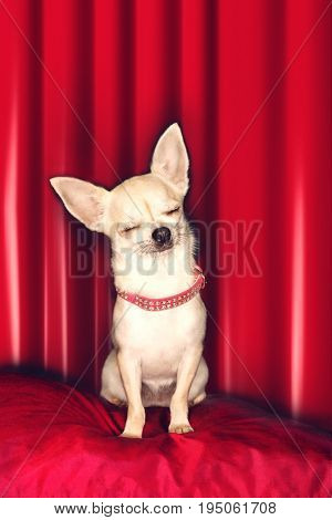 Cute Chihuahua sitting on red pillow with eyes closed against red curtain