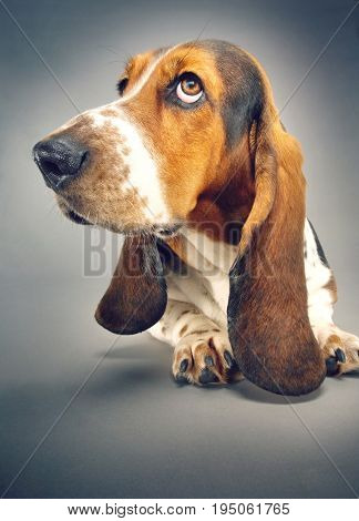Closeup of Basset hound sitting against background