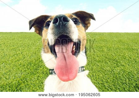 Closeup portrait of Jack Russell terrier panting on grass against the sky