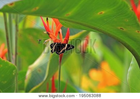Butterfly on orange flower, watched by a fly, Nicaragua, Central America
