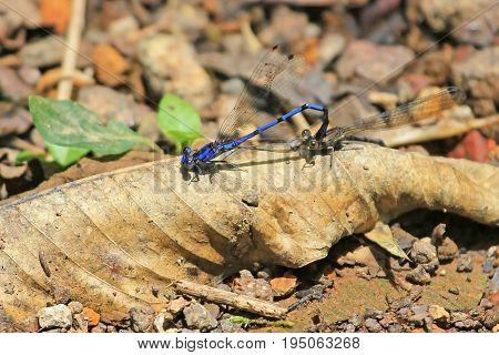 Mating blue dragonfly, coenagrionidae argia extranea, Nicaragua, Central America
