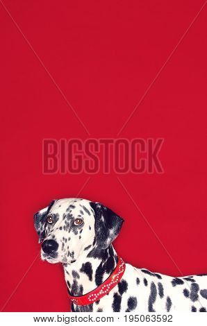 Side view portrait of a cropped Dalmatian looking against red background