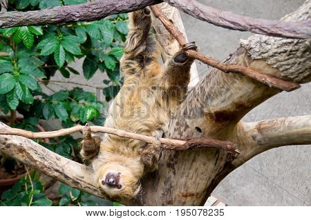 Sloth playing in tree hanging upside down