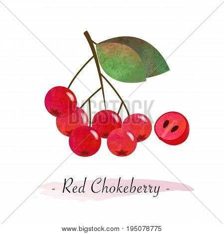Colorful Watercolor Texture Vector Healthy Fruit Red Chokeberry Aronia Berry