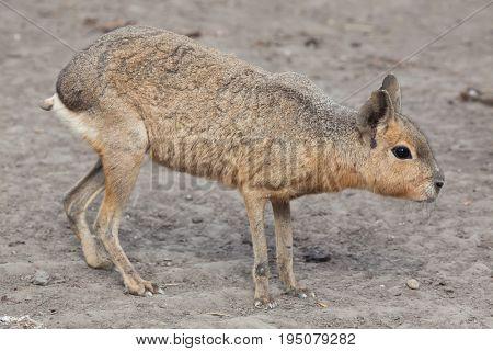 Patagonian mara (Dolichotis patagonum), also known as the Patagonian cavy.