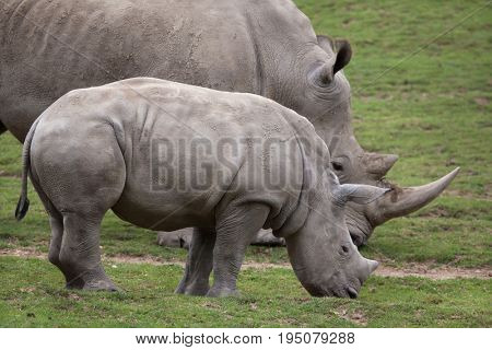 Southern white rhinoceros (Ceratotherium simum simum). Female rhino with its newborn baby.