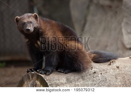 Wolverine (Gulo gulo), also known as the glutton.