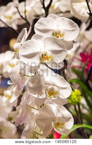 large white orchids display fills the frame