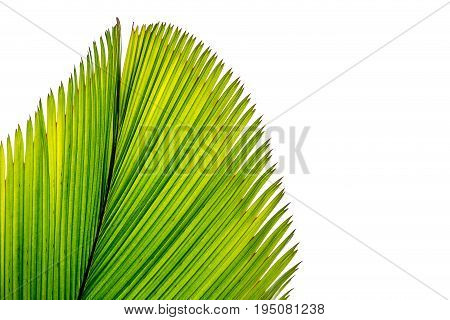 Abstract image of green palm leaf isolatde on background.