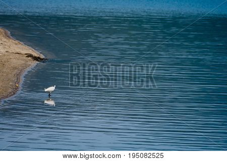 Snowy Egret Standing In River