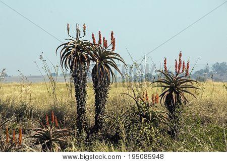 Flowering Aloe Plants In Dry Winter African Landscape