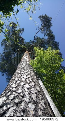 Beautiful tree-top from below with detailed tree bark and sky