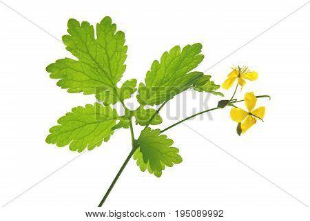 Greater celandine (Chelidonium majus) flowering plant isolated against white background