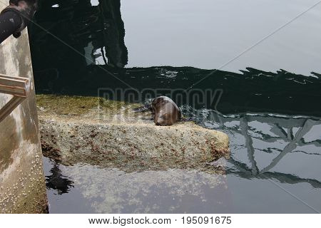 Water reflecting the pier up above surrounds a gray rock with barnacles and a sleeping Calfironia sealion on top