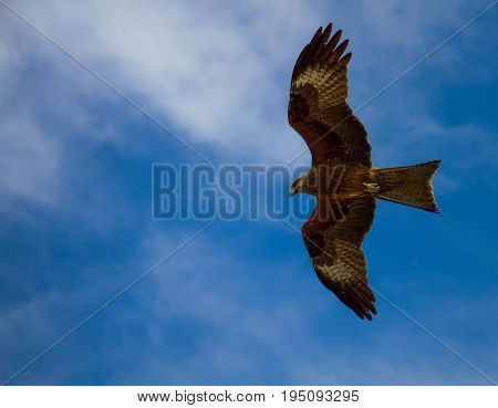 The falcon in the blue sky hovers its wings Russia